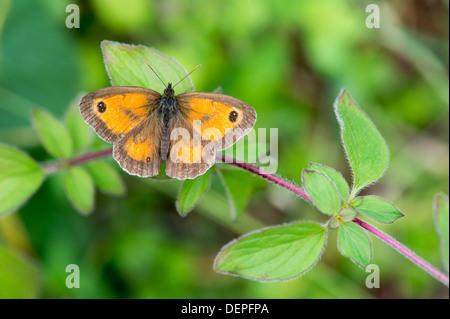 Pyronia tithonus Gatekeeper (papillon) - UK Banque D'Images