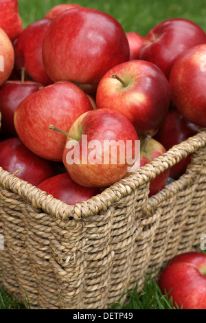 Rouge brillant fraîchement récolté les pommes de découverte Banque D'Images