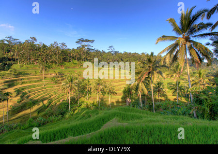 L'INDONÉSIE, Bali, Ubud, terrasses de riz Ceking/Tegallalang Banque D'Images