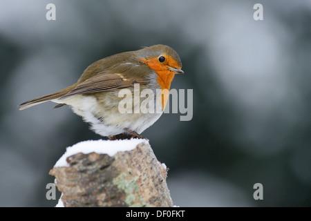 Robin (Erithacus rubecula aux abords), Haren, de l'Ems, Basse-Saxe, Allemagne Banque D'Images