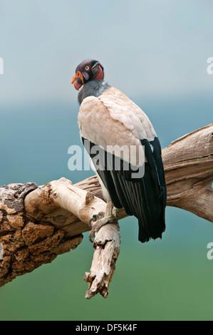 King Vulture - Sarcoramphus papa Banque D'Images