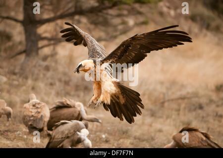 Les subadultes Lagermeier lic) voler à une station d'alimentation d'oiseaux nécrophages, Espagne Banque D'Images