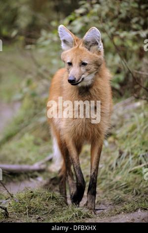 Le loup à crinière (Chrysocyon brachyurus) captive, liste rouge des espèces en danger Banque D'Images