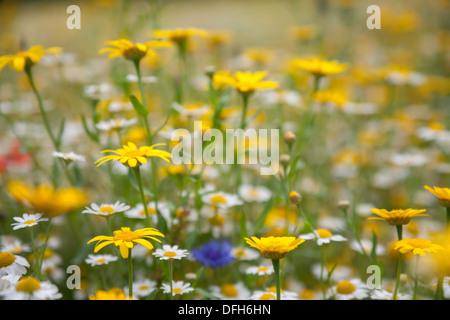 Champ de fleurs sauvages, des jardins perdus de Heligan, Cornwall, UK Banque D'Images