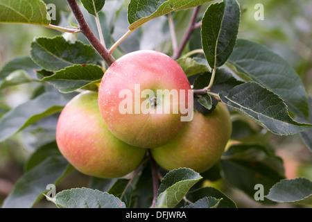 """Malus domestica. De plus en plus """"découverte"""" d'Apple dans un verger. Banque D'Images"""