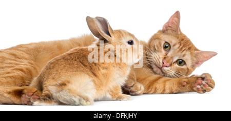 Chat et lapin nain Rex contre fond blanc