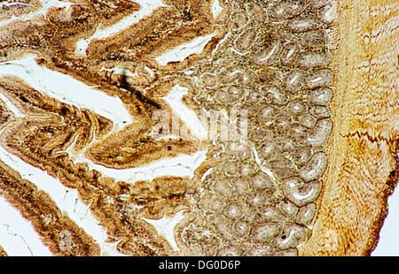 Le pancréas d'oiseaux, 100 X microscope optique, la photomicrographie, histologie, enzymes digestives Banque D'Images