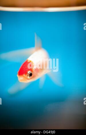 Les poissons dans un aquarium, Vannes, France Banque D'Images