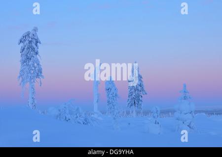 Arbres couverts de neige au crépuscule, hiver, Nissi, Kuusamo, Nordoesterbotten, Suomi, Finlande Banque D'Images