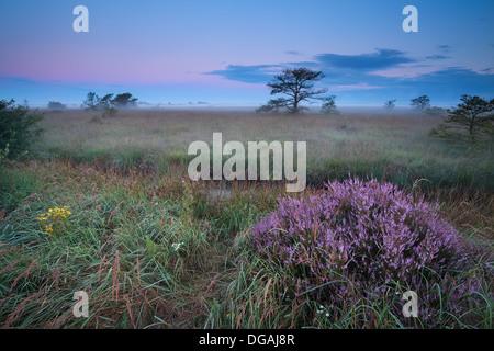 La floraison de la bruyère sauvage sur sunrise misty swamp Banque D'Images