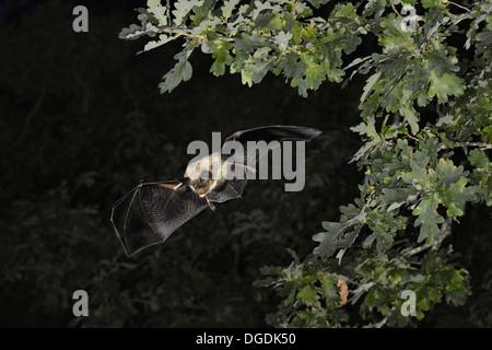 Le Bechstein Myotis bechsteinii Bat Banque D'Images