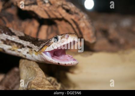 Large ouverture serpent de maïs