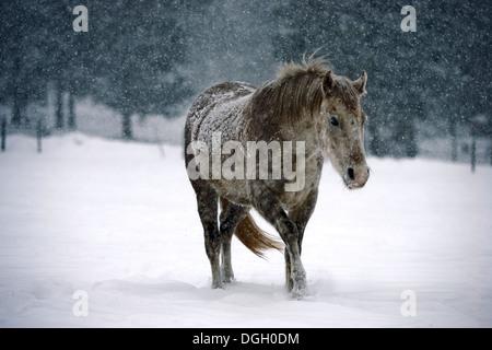 Poney d'hiver dans une forte tempête de neige au Colorado Banque D'Images