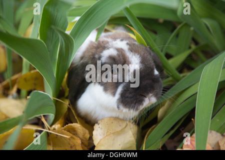 Holland Lop lapin domestique grâce à des plantes de jardin