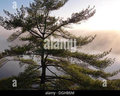 Le lever du soleil nature décor d'un vieux pin arbre sur une rive du lac couvert brouillard George. Le Parc provincial Banque D'Images