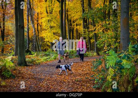 Un couple en train de marcher les chiens sur un chemin à travers des bois de hêtre en automne. Banque D'Images