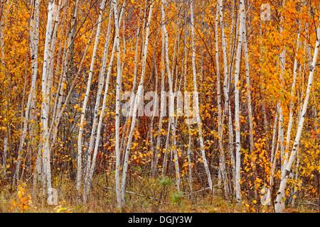 Un bosquet de bouleaux d'argent à la fin de l'automne, le Grand Sudbury Ontario Canada Banque D'Images