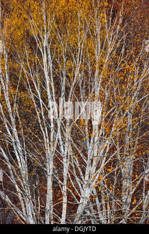 Une colline de bouleau d'argent à la fin de l'automne, le Grand Sudbury Ontario Canada Banque D'Images