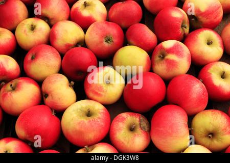 'Découverte' Apple, Malus domestica, pommes variété variétés en magasin de ferme afficher Banque D'Images