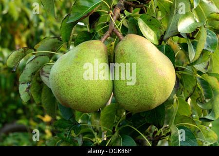 Le poirier 'Doyenne du Comice', Pyrus communis, poires variété varieties growing on tree