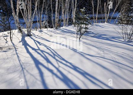 Bouleau ombres sur la neige fraîche le Grand Sudbury Ontario Canada Banque D'Images
