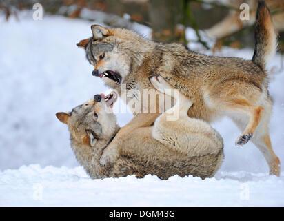 Mackenzie-Wolves, loup de l'Est canadien, wolf (Canis lupus occidentalis) dans la neige, lutter pour le classement Banque D'Images