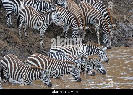 Commun, plaines ou le zèbre de Burchell (Equus quagga), troupeau sur la rive de la rivière Mara au cours de la migration, Banque D'Images