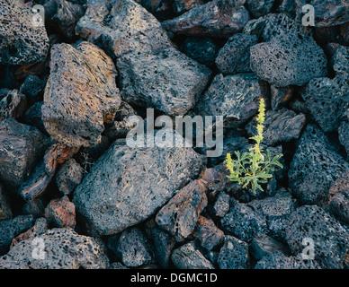 Petite pousse verte de la roche volcanique des champs de lave solidifiée cratères de la Lune National Monument plaine Banque D'Images