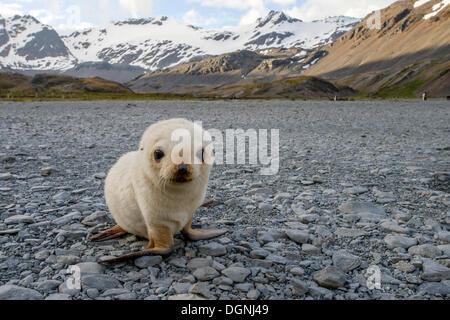 Argentina (Arctocephalus gazella), ou blonde leucistic pup, Stromness Stromness Bay, Port, la Géorgie du Sud et les