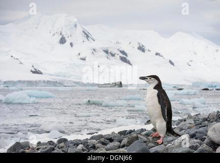 Manchot à Jugulaire (Pygoscelis antarctica) debout sur une plage rocheuse en face d'une toile de fond de montagnes couvertes de glaciers