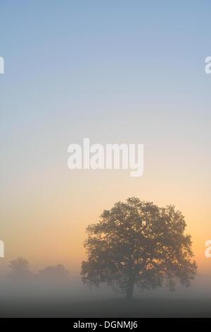 Paysage de prairie avec des arbres de chêne solitaire dans la brume du matin au lever du soleil, Dessau-Wörlitz, Banque D'Images