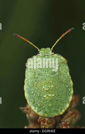 Larve d'un Green Shield Bug (Palomena prasina), Bad Hersfeld, Hesse Banque D'Images