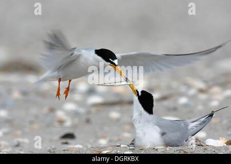 Sterne naine (Sternula albifrons), de la cour de se nourrir en vol, Minsener Oog, îles de la Frise orientale, de Banque D'Images