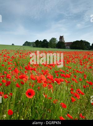 Des champs de pavot derrière l'église paroissiale de St Pierre et St Paul à Ospringe nr, Faversham, Kent. Banque D'Images