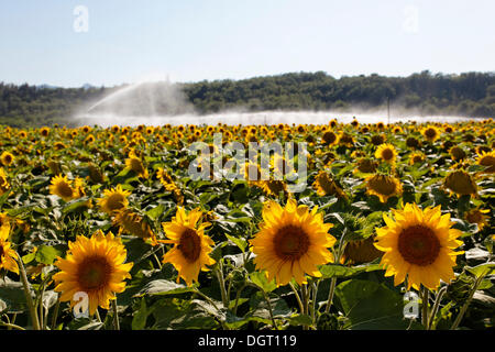 Champ de tournesol à l'irrigation, Sisteron, Provence, département Alpes-de-Haute-Provence, France, Europe Banque D'Images