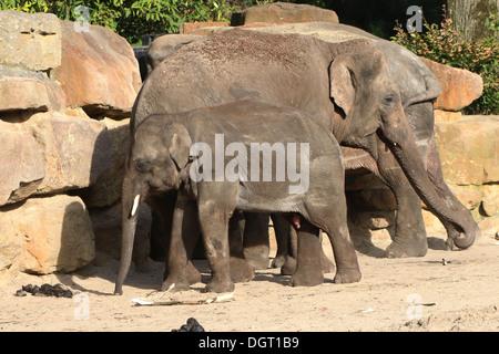 Famille d'éléphants d'Asie (Elephas maximus).