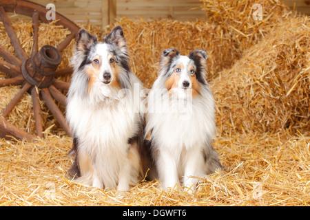 Shelties, blue-merle / Shetland Sheepdog |Shelties, Rueden, bleu-merle / Shetland Sheepdog Banque D'Images