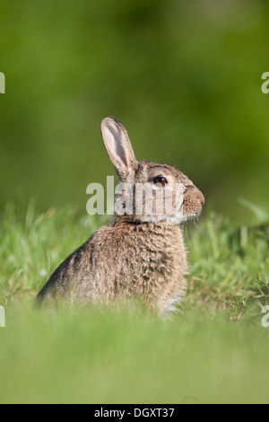 Adultes sauvages Lapin (Oryctolagus cuniculus) dans les prairies. Yorkshire Dales, North Yorkshire, Angleterre, Banque D'Images