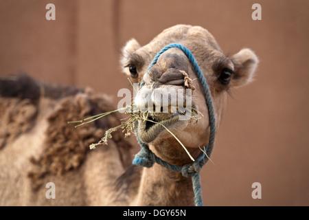 Close up of captif domestiqués dromadaire herbes manger Banque D'Images