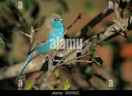 Blue-breasted cordon-bleu ou blue waxbill (uraeginthus angolensis), Kruger National Park, Afrique du Sud, l'Afrique