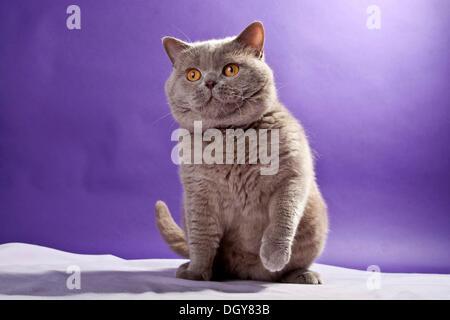 British Shorthair lilas, cat sitting