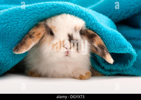 Jeune nain lapin nain, ram, couché sous couverture