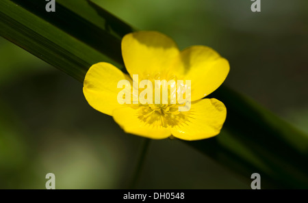 Caltha palustris Populage des marais fleur jaune sur fond vert