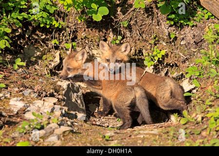 Le renard roux (Vulpes vulpes) oursons en face d'un den, dix semaines, captive, Montana, United States Banque D'Images