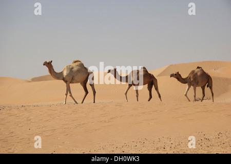 Arabian chameaux ou dromadaires (Camelus dromedarius) dans le désert sur la route d'oasis de Liwa, Rub Al Khali, Banque D'Images