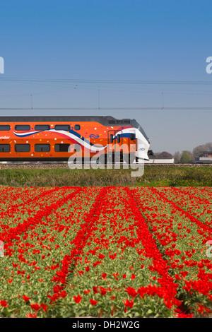 Pays-bas, Vogelenzang, champ de tulipes. Royal Kings Orange passant par train. Banque D'Images
