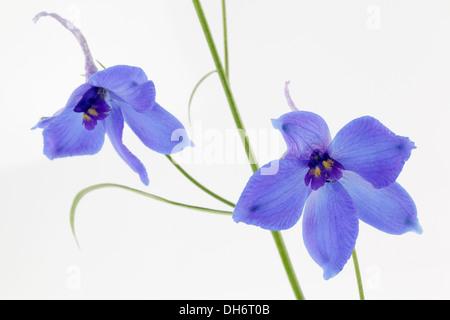 Delphiniums bleus sur fond blanc Banque D'Images