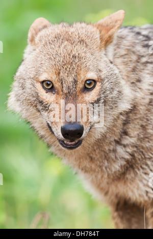 Le chacal doré, Canis aureus, Chacal,