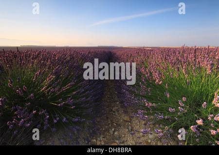 Lever de soleil sur un champ de lavande, Valensole, Provence, France Banque D'Images
