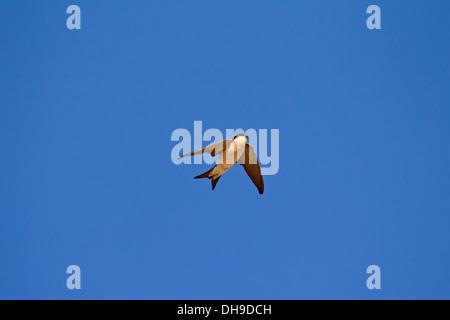 Maison commune (Delichon urbicum) en vol sur fond de ciel bleu Banque D'Images